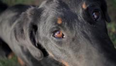 Dog's eyes Stock Footage