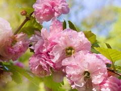 almond blossoms pink flowering - stock photo