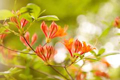 Rhododendron or azalea glowing embers Stock Photos
