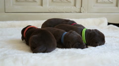 Four newborn brown labrador retrievers Stock Footage