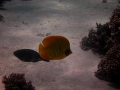 masks Butterflyfish - stock photo