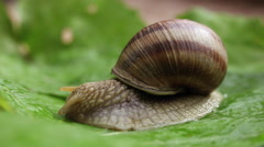Stock Video Footage of Common snail, mollusk, gastropod, eating, food, wild, slow animal, macro
