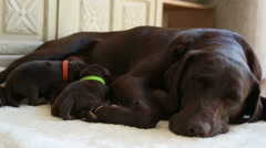 Female brown labrador and her puppies Stock Footage