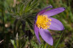 anemone pulsatilla,grauson,cogne,val of aosta,italy - stock photo