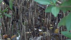 Water gently laps though marshy mangrove roots, 4K Stock Footage