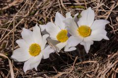 anemone narcissiflora,grauson,cogne, val of aosta,italy - stock photo
