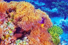 clown fish  in coral garden - stock photo