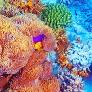 Clown fish swimming near colorful corals Stock Photos