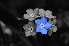 forget me not photomontage - stock photo