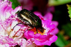 Rose chafer to bloom - stock photo