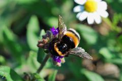 bumblebee in summer - stock photo