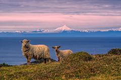 sheep in chile - stock photo
