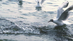 Seagulls landing and taking off from the sea Stock Footage