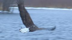 Mature Bald Eagle Snatches a Fish Stock Footage