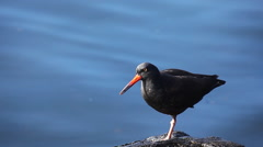 Black Oystercatcher on the shore of the Pacific Ocean Stock Footage