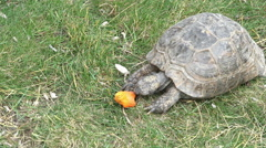 Turtle eating carrot 4k Stock Footage