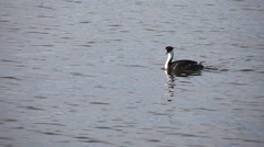 A Western Grebe swims along the Pacific shore Stock Footage