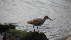 A Willet by the shore of the Pacific Stock Footage