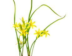 Yellow star of bethlehem, gagea lutea the first wild spring flower is isolate Stock Photos