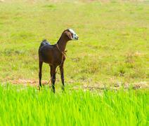 Young brawn nanny-goat standing near green grass Stock Photos
