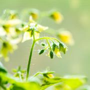 Spring seedling plant of blooming young tomato on blur green background, clos Stock Photos