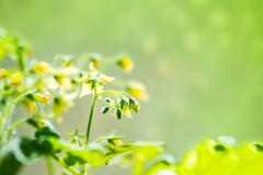 spring seedling plant of blooming young tomato on blur green background, clos - stock photo
