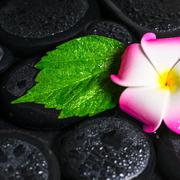 spa concept of green leaf hibiscus, plumeria on zen basalt stones with drops  - stock photo