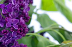 Blooming lilac flowers. Abstract background. Macro photo. - stock photo