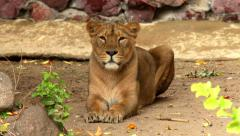 A young Asian lioness, calm lying in soft light and looking around. Arkistovideo