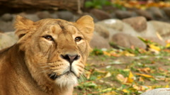 The head of an Asiatic young lioness, lying on the autumn background. Stock Footage