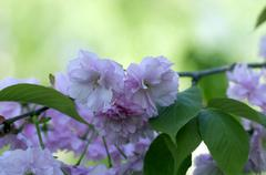 Sakura. cherry blossom in springtime, beautiful pink flowers Stock Photos