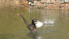 Bathing day on pond with various waterfowls. Couple of Australian black swans Stock Footage