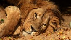 Head and paws of shaggy Asian lion, lying on sand and stretching in sleep. Stock Footage
