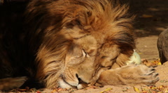 Shaggy sunlit head and paw of lion, sleeping on the sand and fallen leaves. Stock Footage