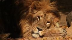 Stock Video Footage of Awakening for short time of Asian lion, sleeping on sunlit sand. King of beasts