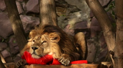 Stock Video Footage of Lion on wood platform among tree, chafing against torn red plastic cone.