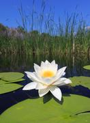 Water lily on lake Stock Photos