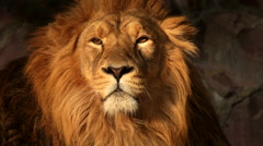 Golden face of a boring lion on the rocky background. King of beasts Stock Footage