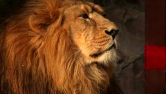 Shaggy head in profile of an Asian lion on the rocky background. Stock Footage