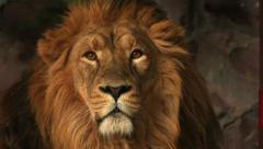 Attentive look of a golden lion on the rocky background. King of beasts - stock footage