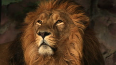 Golden lion on the rocky background. Shaggy head of the King of beasts Stock Footage
