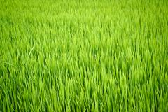 rice plant in paddy field - stock photo