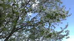Spring (flowering tree) Stock Footage