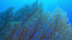 Diving behind corals, Andamane Islands Stock Footage