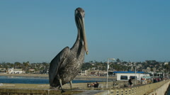 Pelican perched on pier railing  Stock Footage
