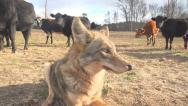 Stock Video Footage of Coyote