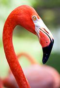 Profile of American flamingo with its long neck and beak Stock Photos