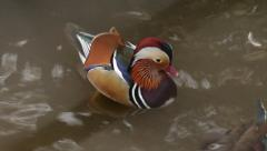 A mandarin ducks male, Aix galericulata, on the water. Stock Footage
