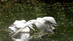 A couple of locky Dalmatian pelicans, Pelecanus crispus. Exotic birds Stock Footage