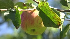 ULTRA HD 4K Delicious fresh ripe apple hang tree branch rural bio orchard sunny  Stock Footage